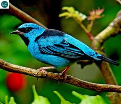 https://www.facebook.com/WonderBirdSpecies/ Blue dacnis/Turquoise honeycreeper (male)(Dacnis cayana); Central and South America; IUCN Red List of Threatened Species 3.1 : Least Concern (LC)(Loài ít quan tâm)    Chim Dacnis xanh (trống); Trung và Nam Mỹ; Họ Tanager-Thraupidae.