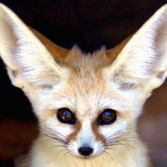 Fennec foxes are opportunistic eaters. They forage for plants but also eat rodents, eggs, reptiles, and insects. Like most desert dwellers, the fennec fox has developed the ability to go for long periods without water. Cute Baby Animals, Animals And Pets, Funny Animals, Wild Animals, Beautiful Creatures, Animals Beautiful, Photo Animaliere, Fennec Fox, Pet Fox