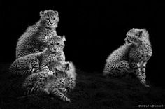 Four Breathtaking Cheetah Cubs