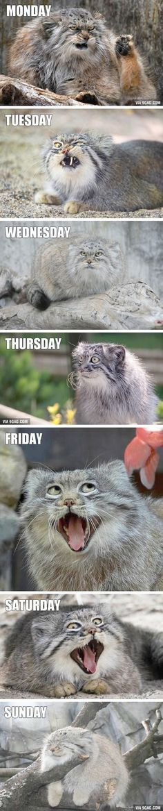 47 Ideas funny memes friday grumpy cat for 2019 Funny Animal Memes, Cute Funny Animals, Funny Relatable Memes, Funny Animal Pictures, Funny Cute, Cute Cats, Hilarious Jokes, Baby Pictures, Hilarious Pictures