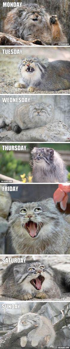 47 Ideas funny memes friday grumpy cat for 2019 Funny Animal Jokes, Funny Cat Memes, Funny Animal Pictures, Cute Funny Animals, Animal Memes, Cute Baby Animals, Animals And Pets, Cute Cats, Funny Cats