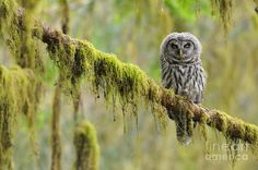 Animal Photograph - Barred Owl Strix Varia Owlet by Thomas and Pat Leeson Barred Owl, Owl Photos, Natural World, Predator, Birds, Animals, Owls, Image, Kestrel