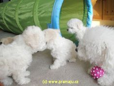 Cindy 1/2012b - Bichon Bolognese / Boloňský psík Bichon Bolognese, Dog Lady, Little Dogs, Animals, Little Puppies, Animales, Animaux, Animal, Animais