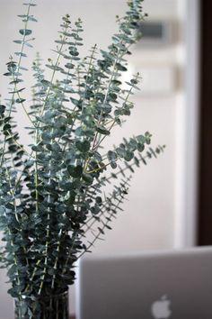 Eucalyptus at Home