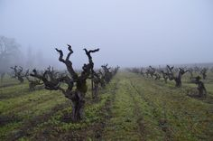 The 111-year-old Rossi Vineyard, from which Sean Thackrey sources grapes for his field blend, Orion.