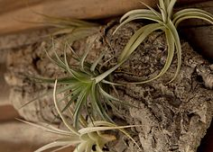 How-to: Caring for Tillandsia Air plants are fun, exotic specimens with a vast range of shapes, colors, and sizes.