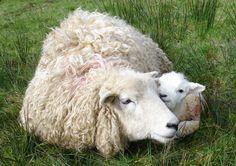 Sheep and lamb Vegan Animals, Farm Animals, Animals And Pets, Cute Animals, Alpacas, Beautiful Creatures, Animals Beautiful, Sheep And Lamb, Baby Sheep