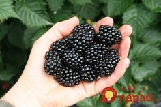10 Healing Plants Which Were Used By The Native Americans To Treat Anything From Joint Pain To Cancer For Centuries Apricot Tree, Plum Tree, Peach Trees, Blackberry Plants, Thornless Blackberries, Flowering Crabapple, Hickory Tree, Living A Healthy Life, Raspberries