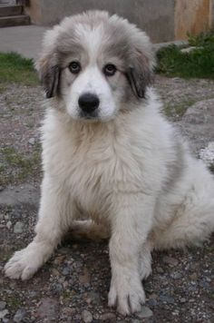 great Pyrenees - so sweet!  I grew up with this kind of dog :)