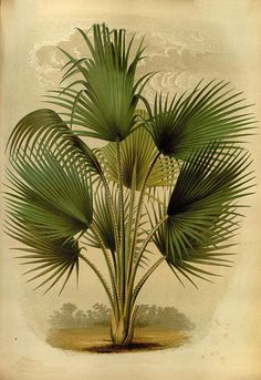 Antique french botanical print thrinax caribbean palm tree illustration digital…