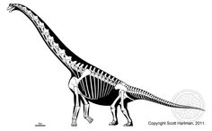 Brachiosaurus altithorax Skeletal