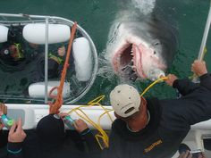 Shark Cage Feeding Frenzy by White Shark Ecoventures, via Flickr