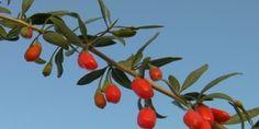 Как употреблять ягоды годжи?