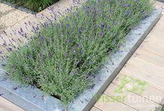 Je tuin ruikt lekker met deze lavendelbloemen ! En maakt je mooi !