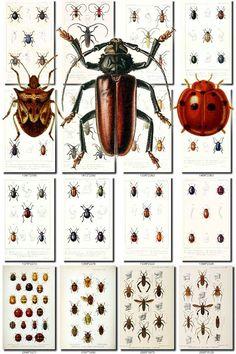 INSECTS-45 Collection of 102 vintage illustrations Coleoptera Abetallites, Acalles, Acalyptus, Acanthocephala, Acanthocoris, Acanthoderes, Acimerus, Acronycta, Actuarius, Adexius, Adimonia, Aegosoma, Aeromyrma, Aetius, Agabus, Agapanthia, Agelastica, Albana, Alophus, Amalus, Amomphus, Amorbus, Amorphocephalus, Anaerea, Anaesthetis, Anaglyptus, Anisarthron, Anisolemnia, Anisooticta, Anisosticta, Anochetus, Anoglopus, Anoplistes, Anoplocnemis, Anoplus, Anthobo