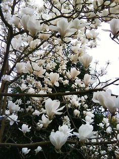 30 pcs/bag magnolia seeds beautiful flower tree seeds magnolia plants in pot or ourdoor plant for home garden Flor Magnolia, Magnolia Trees, Magnolia Flower, White Magnolia Tree, Japanese Magnolia Tree, Saucer Magnolia Tree, Sweet Magnolia, Moon Garden, Hummingbirds