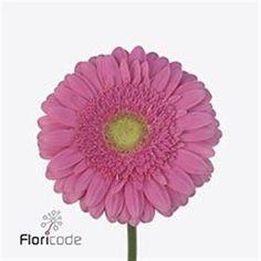 Gerbera True Love is a pretty Pink cut flower. It is approx. 45cm