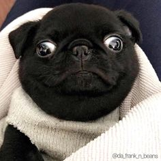 When you realise its Friday and you have no wine in the fridge. Photo by @da_frank_n_beans Want to be featured on our Instagram? Tag your photos with #thepugdiary for your chance to be featured.