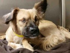 A1653081 - URGENT - CITY OF LOS ANGELES SOUTH LA ANIMAL SHELTER in Los Angeles, CA - Young Male Tibetan Spaniel