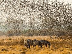 "Flocking Together  Photograph by Samuel Cox, National Geographic Your Shot  ""It was at the end of a long day in South Luangwa, Zambia and the sun was beginning to set when we came across these grazing zebras bathed in the golden light,"" writes Samuel Cox, a member of our Your Shot photo community. ""Before I could stop the driver, thousands of quelea birds erupted out from the surrounding bushes and flocked up in unison over the nonchalant grazers. I was quick enough to raise up my camera and…"