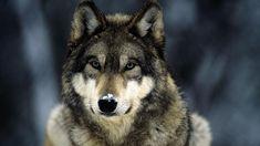 Wolf Cool Wallpaper 1920×1080 Wallpaper
