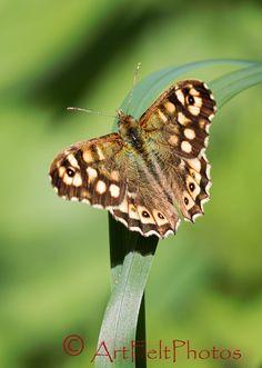 https://flic.kr/p/WmyoJb   200332-speckled-wood butterfly