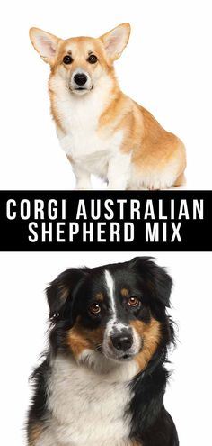 Designer dogs like the Corgi Australian Shepherd mix are getting extremely popular. So what can you expect from this fascinating cross? Let's see! Corgi Aussie Mix, Corgi Mix Puppies, Mixed Breed, Family Dogs, Dog Quotes, Articles, News, Health, Salud