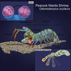 Peacock Mantis Shrimp  Has a punch that can break a quarter inch glass