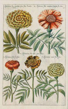 Plate from Florilegium Amplissimum et Selectissimum (1612) Emanuel Sweert (1552-1612).  Sourcehttp://www.theantiquarium.com/emanuel-sweert.  Wikimedia.
