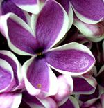 Lilac... GREAT website with names and images of FLOWERS <3