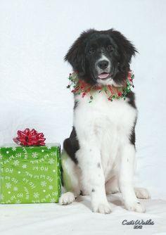 Landseer Newfoundland Dog Christmas Hound Holiday Dogs Happy New Years