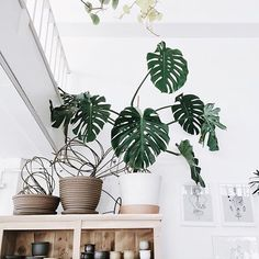 We had to repost this awesome photo taken by @ttothen of one of our pet plants in the space! This Monstera Deliciosa is named Evan (after @evanwk who generously let it come live with us). Our goal is to let it get as big as possible in our new North Killingsworth location! Keep an eye on the progress! #solabeeflowers