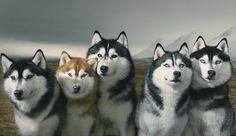 Photoshoot of five siberian huskies #siberian huskies #huskies #husky #photoshoot #photo