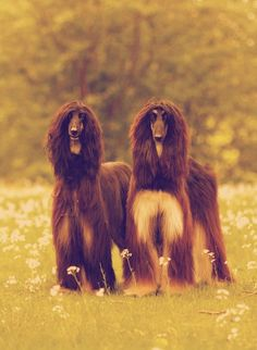 afghan hound mom and puppies Big Dogs, I Love Dogs, Cute Dogs, Dogs And Puppies, Doggies, Beautiful Dogs, Animals Beautiful, Cute Animals, Afghan Hound