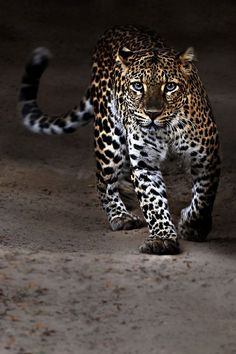 :) Leopards - the most gorgeous big cat and my long time favourite (though probably wouldn't like to meet one up close).