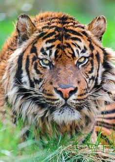 Beautiful male Sumatran tiger lying in the grass