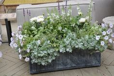 June 24 2014 (3) Look for silver cascade dusty miller  for shade pots next year. Looks like it would be a good spiller for Persian shield.