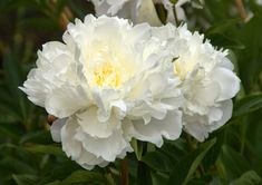 Organic Garden Dreams: Mottisfont Abbey - a Rose Lover's Paradise III White Plants, Love Flowers, Organic Gardening, Peonies, Wave, Paradise, Lovers, Dreams, Pure Products