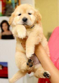 Golden retriever puppy! #goldenretriever