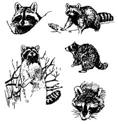 Awesome Black Raccoon Tattoo Flash