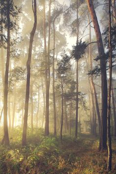 """Morning light illuminates an overgrown trail through this pine grove. landscape photography: <a href=""""https://www.facebook.com/pages/Landscape-Photography-by-Kilian-Schoenberger/304631876263547"""">facebook page</a>"""