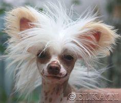Chinese crested dog Morgana Elkati Китайская хохлатая собака