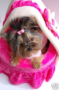 Miss Minnie she is the princess! Teacup Yorkie