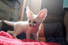 The Ultimate Collection of Baby Fennec Fox Pictures--so much cuteness!!