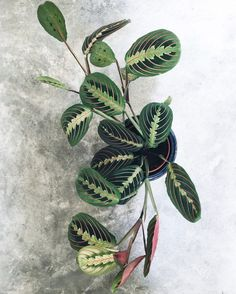 This colorful prayer plant. | 25 Houseplants That Will Help You Plan Your Dream Indoor Jungle