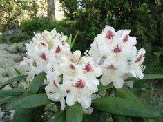 Rhododendron 'p. Types Of Flowers, Trees And Shrubs, Begonia, Clematis, Hedges, Daffodils, Color Mixing, Orchids, Lily