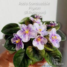 Rob's Combustible Pigeon (9462) 07/30/2005 (R. Robinson) Semidouble pink pansy/blue fantasy, white edge. Crown variegated medium green, yellow and white, plain, serrated. Semiminiature #RobsCombustiblePigeon #AVSA #AfricanViolet #semiminiatureafricanviolet #semiviolet #semiminiviolet #IndoorPlant #Houseplant #saintpaulia #senpolia #AfricanVioletLovers #fialka #flowers #bloom #AfricanVioletSocietyOfAmerica #AfricanVioletBlooming #fialki Saintpaulia, Pigeon, Pansies, Houseplants, Indoor Plants, Bloom, Miniatures, Green, Flowers