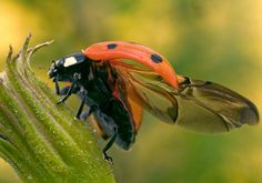 Ladybugs Pack Wings and Engineering Secrets in Tidy Origami Packages - The New York Times