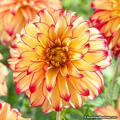 Dahlia Lady Darlene Dinnerplate - A great ball of fire in the garden, this dahlia has rich yellow-gold petals with red tips and perfect flower form. 8 t 10 inch blooms