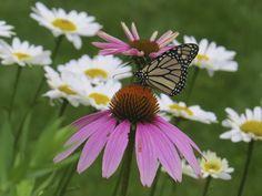 https://flic.kr/p/wtCtxC   Monarch Butterfly